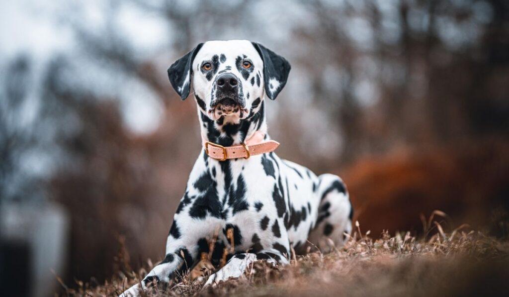 Koeratõud- Dalmaatsia koer