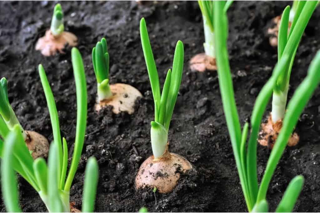 sibula kasvatamine