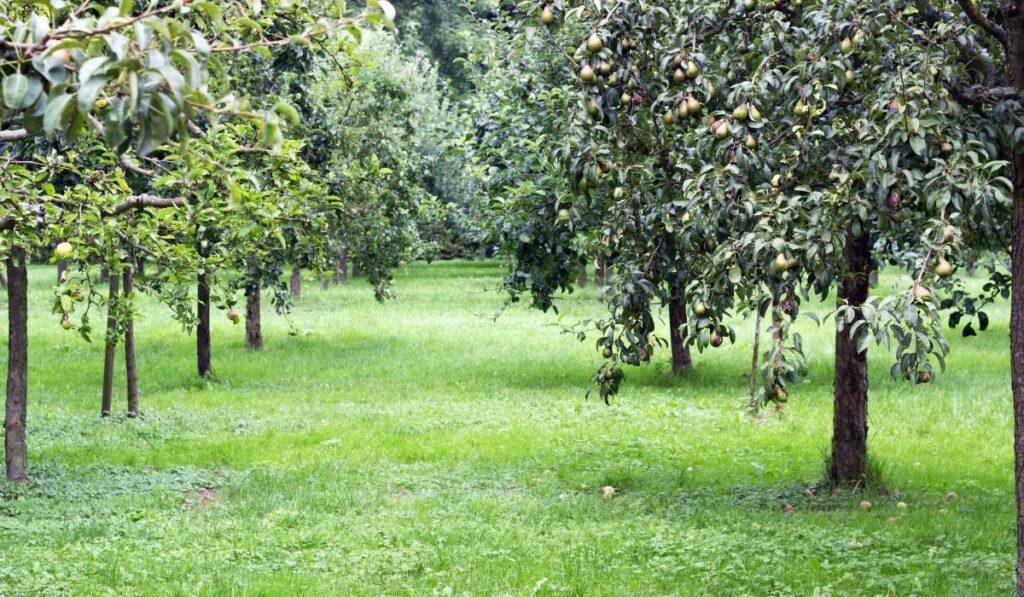 viljapuude lõikamine